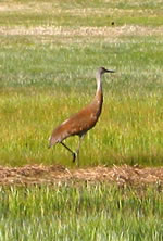 Photo of a Montana Sandhill Crane